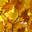 Stock Photo: Oak tree foliage