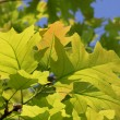 Stock Photo: Green oak tree leaves