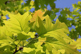 Green oak tree leaves — Stock Photo