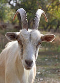Stare of goat — Stock Photo