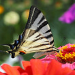 Butterfly sitting on zinnia — Stock Photo #13995664