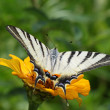 Scarce Swallowtail butterfly — Stock Photo #14000125