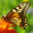 Butterfly sitting on marigold — Photo
