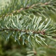 Christmas tree branch — Stock Photo #16305987