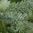 Christmas tree branch — Stock Photo #16305993