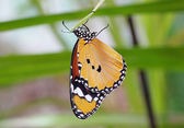 Butterfly hanging on leaf — Stock Photo