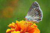 Mariposa azul común — Foto de Stock
