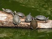 Tartarugas em um tronco de árvore — Foto Stock
