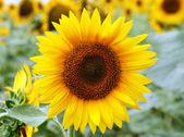 Sunflower on field — Stock Photo