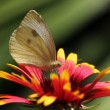 Butterfly sitting on echinacea - Stock Photo