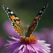 Butterfly on chrysanthemum - Stock Photo