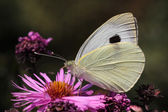 White cabbage butterfly — 图库照片