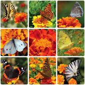 Collage with butterflies — Stock Photo