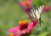 Zinnia üzerinde kelebek — Stok fotoğraf