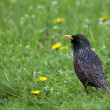 Starling in green grass — Stock Photo