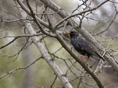Common starling — Stock Photo