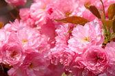 Japanese cherry tree blossom — Stock Photo