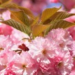 Foto Stock: Cherry tree blossom