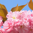 Pink cherry blossom - Stock Photo