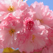 Japanese cherry tree blossom - Stock Photo