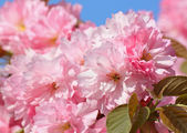 Pink cherry tree blossom — Stock Photo