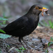 Blackbird eating worm - Stock Photo