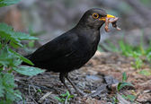 Blackbird eating worm — Photo