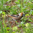 Hawfinch - Stock Photo