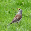 Thrush in grass — Stock Photo
