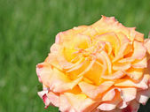 Rose over green background — Stock Photo