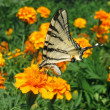 Butterfly on marigold — Stock Photo #30651091