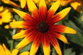 Golden yellow echinacea — Stock Photo