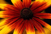 Yellow with red coneflower — Stock Photo