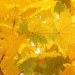 Maple tree leaves at fall — Stock Photo