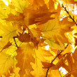 Oak tree foliage — Stock Photo