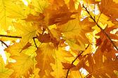 Oak tree foliage — Stock Photo