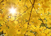 Sunshine through maple tree leaves — Stock Photo
