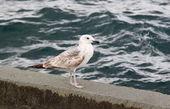 Caspian чайка — Стоковое фото