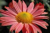 Chrysanthemum in garden — Stock Photo