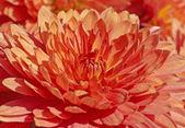 Red chrysanthemum — Stock Photo
