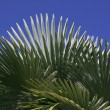 Leaves of palm tree — Stock Photo #35934927