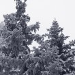 Spruce trees at winter — Stock Photo #35951113