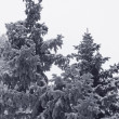 Spruce trees at winter — Stock Photo