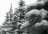 Spruce trees — Stock Photo