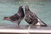 Dwa gołębie — Zdjęcie stockowe