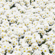 White Primula flowers — Stock Photo