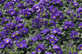 Blue Primila flowers — Foto de Stock