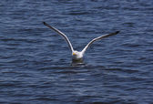 Gull flushing from water — Stock Photo