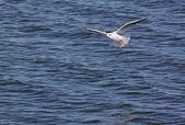 Mouette vole au-dessus de la rivière — Photo