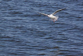 Gaivota voando acima do rio — Foto Stock